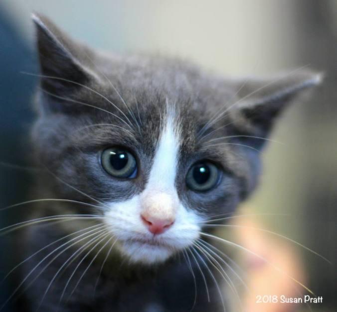 BCAS Kitten Susie Pic